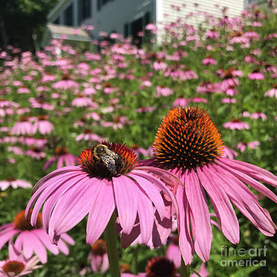 Photograph - Purple Coneflower 21 by Amy E Fraser