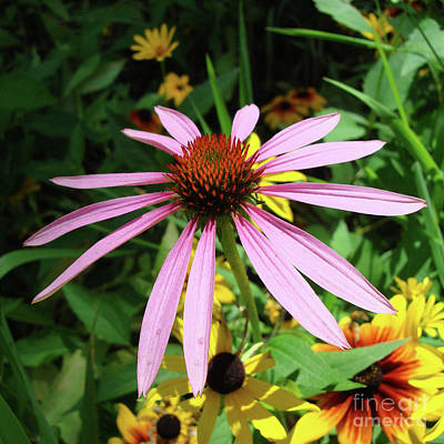 Photograph - Purple Coneflower 23 by Amy E Fraser