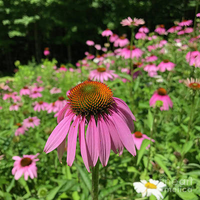 Photograph - Purple Coneflower 24 by Amy E Fraser