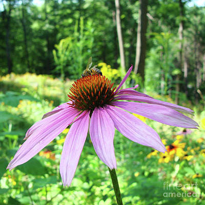 Photograph - Purple Coneflower 25 by Amy E Fraser