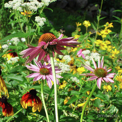 Photograph - Purple Coneflower 26 by Amy E Fraser