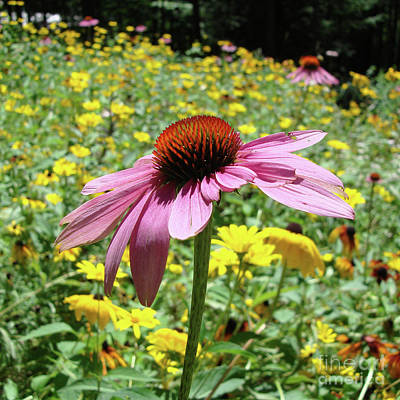 Photograph - Purple Coneflower 27 by Amy E Fraser