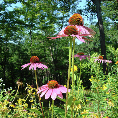 Photograph - Purple Coneflower 28 by Amy E Fraser