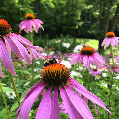 Photograph - Purple Coneflower 29 by Amy E Fraser