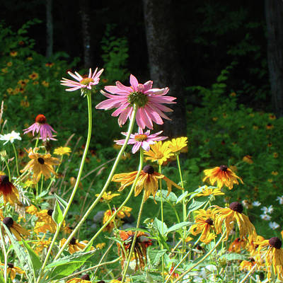 Photograph - Purple Coneflower 30 by Amy E Fraser