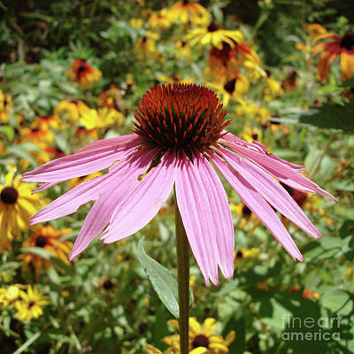 Photograph - Purple Coneflower 31 by Amy E Fraser