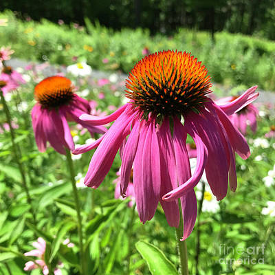 Photograph - Purple Coneflower 34 by Amy E Fraser