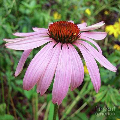 Photograph - Purple Coneflower 35 by Amy E Fraser