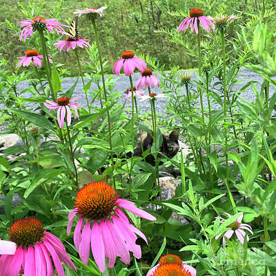 Photograph - Purple Coneflower 36 by Amy E Fraser