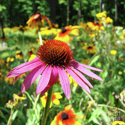 Photograph - Purple Coneflower 39 by Amy E Fraser