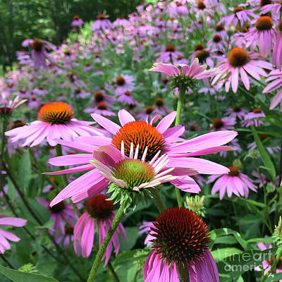 Photograph - Purple Coneflower 4 by Amy E Fraser