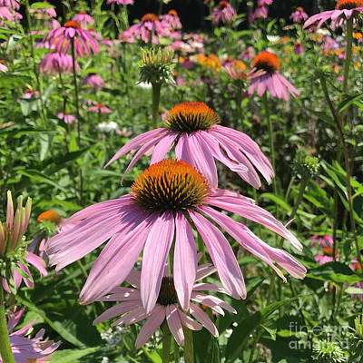 Photograph - Purple Coneflower 6 by Amy E Fraser