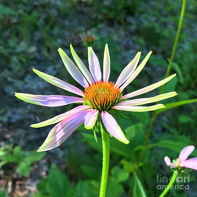 Photograph - Purple Coneflower 7 by Amy E Fraser