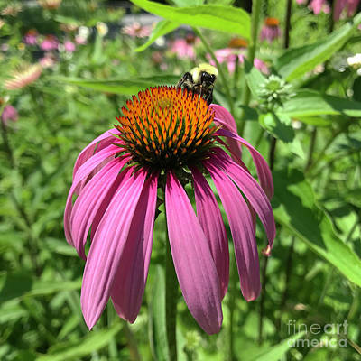 Photograph - Purple Coneflower 9 by Amy E Fraser