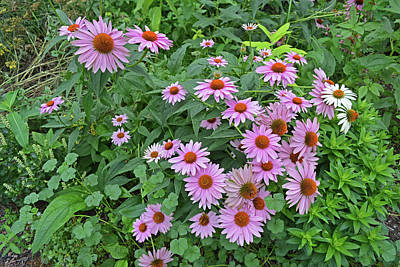 Photograph - Purple Coneflower Blossoms by Aimee L Maher ALM GALLERY