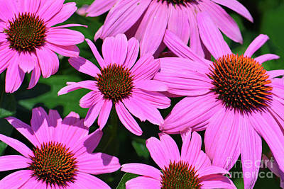 Royalty-Free and Rights-Managed Images - Purple Coneflower Cluster by Regina Geoghan