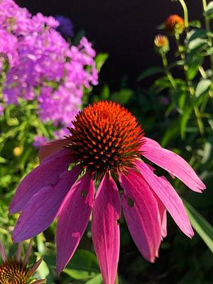 Photograph - Purple Coneflower by Lukas Miller