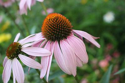 Photograph - Purple Coneflower Pair by Christopher Lotito