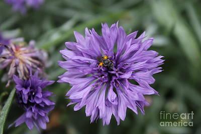 Photograph - Purple Cornflower by Julie Kindt