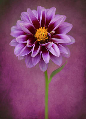 Photograph - Purple Dahlia by John Rodrigues