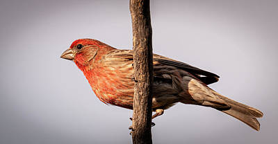 Photograph - Purple Finch by Philip Rispin
