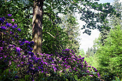 Photograph - Purple Framing Of Blooming Rhododendrons  by Jenny Rainbow