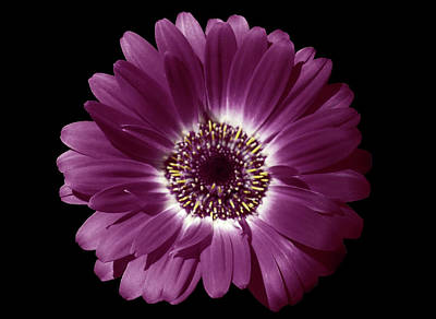 Photograph - Purple Gerbera Beauty by Johanna Hurmerinta