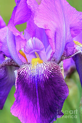 Royalty-Free and Rights-Managed Images -  Purple Iris Flower Portrait by Regina Geoghan