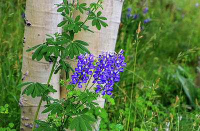 Photograph - Purple Lupine And Aspen by Dawn Richards