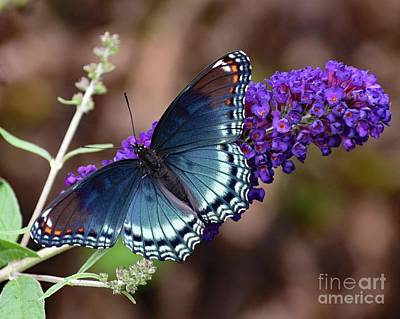 Book Quotes - Purple On Purple - Red-spotted Purple Butterfly by Cindy Treger