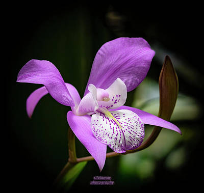 Photograph - Purple Orchid by Silvia Marcoschamer