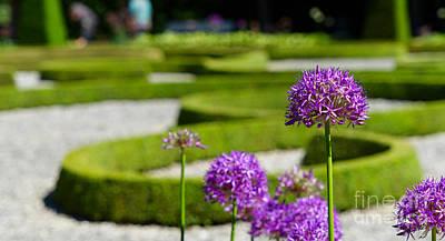 Mellow Yellow - Purple ornamental garlic, Allium hollandicum by Frank Heinz