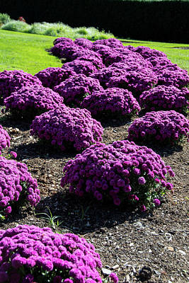 Photograph - Purple Petunia Bed by Jennifer Wick