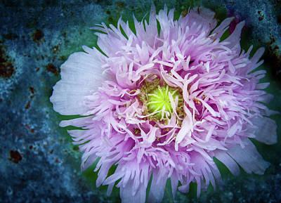 Photograph - Purple Poppy by Jean Noren