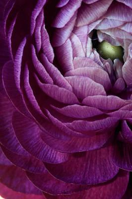 Photograph - Purple Ranunculus Flower by Julie Scholz