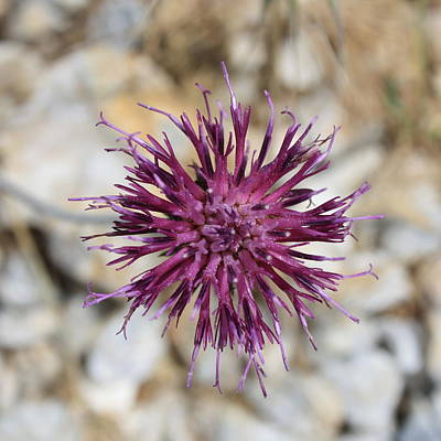 Photograph - Purple Spiny Plumeless Thistle by Taiche Acrylic Art