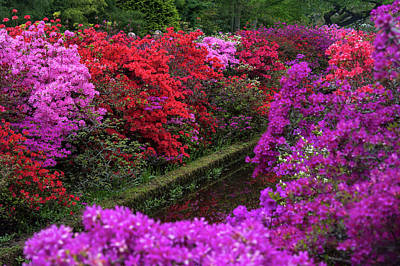 Photograph - Purple Symphony Of Spring Rhododendrons In Keukenhof by Jenny Rainbow