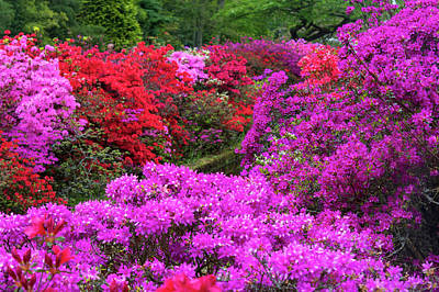 Photograph - Purple Symphony Of Spring Rhododendrons by Jenny Rainbow