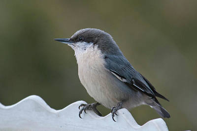 Photograph - Pygmy Nuthatch At Attention by Cascade Colors