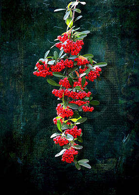 Photograph - Pyracantha Berries - Do Not Eat by Debi Dalio