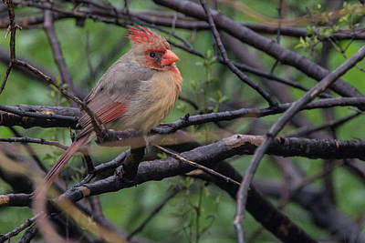 Photograph - Cardinal 4723-022219 by Tam Ryan