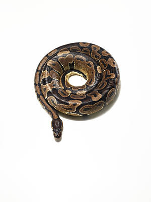 Photograph - Python Coiled Up In To A Perfect Circle by Michael Blann