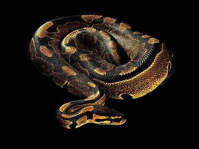 Photograph - Python In A Coil Against Black by Chris Turner