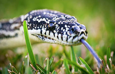 Photograph - Python On Grass by Alastair Pollock Photography