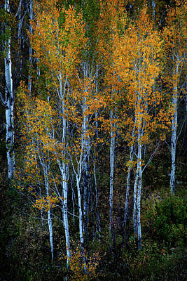 Photograph - Quaking Aspens Autumn Colors by David Chasey