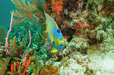 Exuma Photograph - Queen Angelfish And Reef by Michele Westmorland