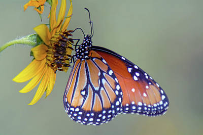 Photograph - Queen Butterfly On Sunflower 3735-100918 by Tam Ryan