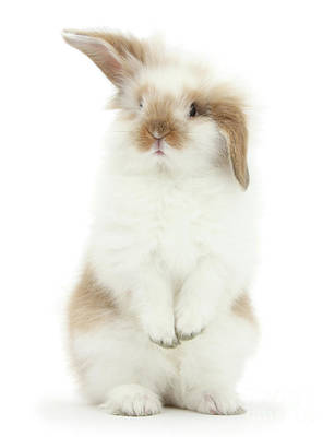 Photograph - Quizzical Bunny by Warren Photographic
