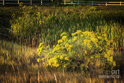 Photograph - Rabbit Bush Morning by Jon Burch Photography