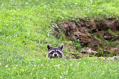 Photograph - Raccoon Barely Peering Over Edge by Dan Friend